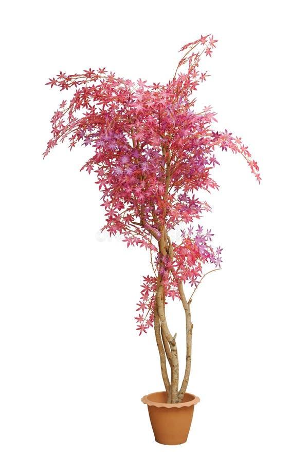 Sztuczny Japoński czerwony klon rozgałęzia się drzewa obrazy royalty free