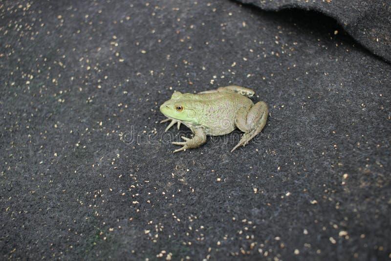 Sztuczny karmienie Bullfrog fotografia stock