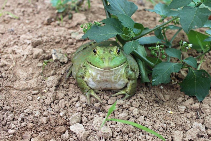 Sztuczny karmienie Bullfrog obraz royalty free
