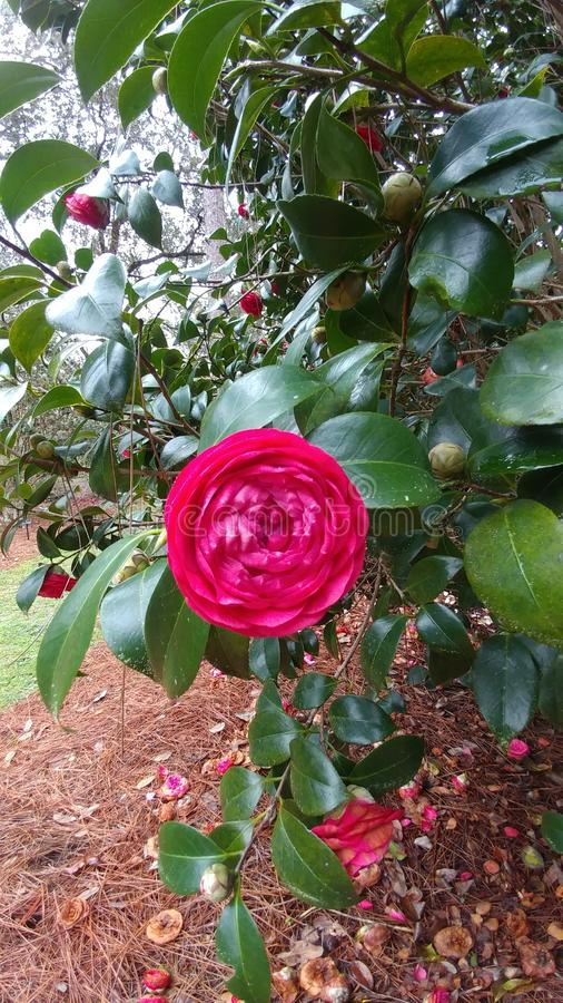 Sztuka kwiatu czerwień Camilla fotografia royalty free
