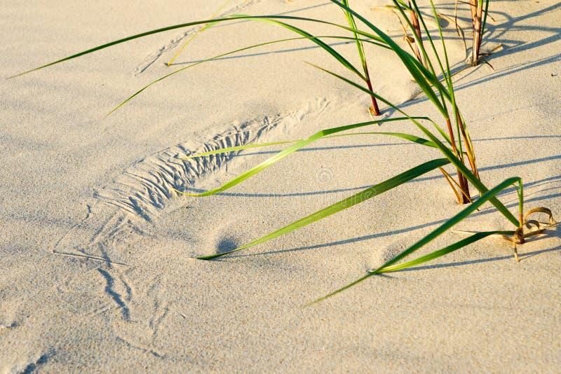 Sztuka wiatr, biały piasek i zielona trawa na plaży, fotografia royalty free