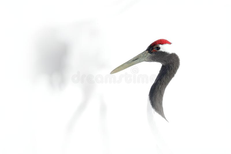 Sztuka widok na ptasim portrecie Koronujący żuraw, Grus japonensis, kierowniczy portret z bielem i tylny upierzenie, zimy scena,  obrazy stock