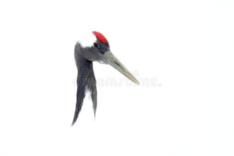Sztuka widok na ptasim portrecie Koronujący żuraw, Grus japonensis, kierowniczy portret z bielem i tylny upierzenie, zimy scena,  obraz royalty free