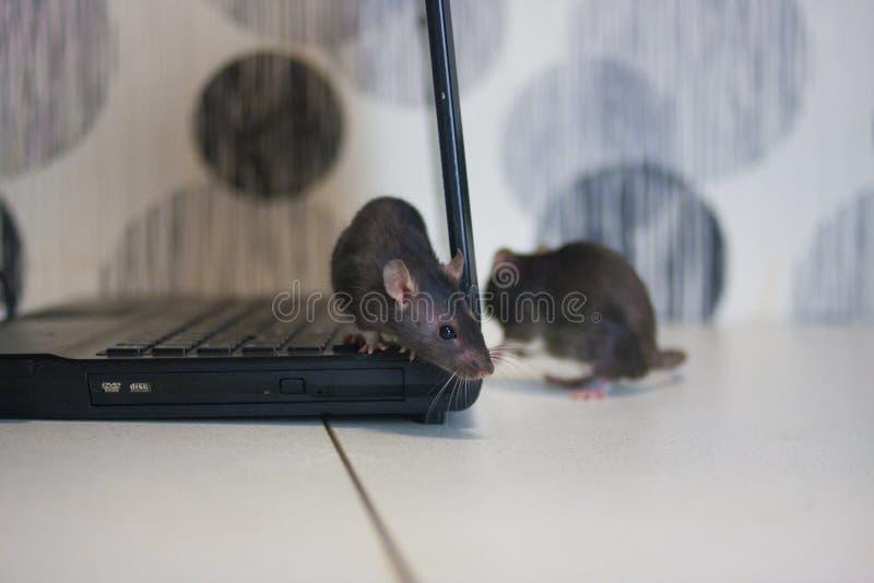 szturmowa pluskwy hackera klawiatura machinalna szczury s? szarzy na komputerze Symbol zdjęcia royalty free