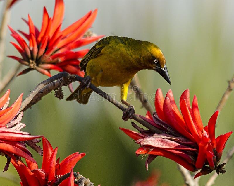 Szukam słodkiego łyka nektaru zdjęcie stock