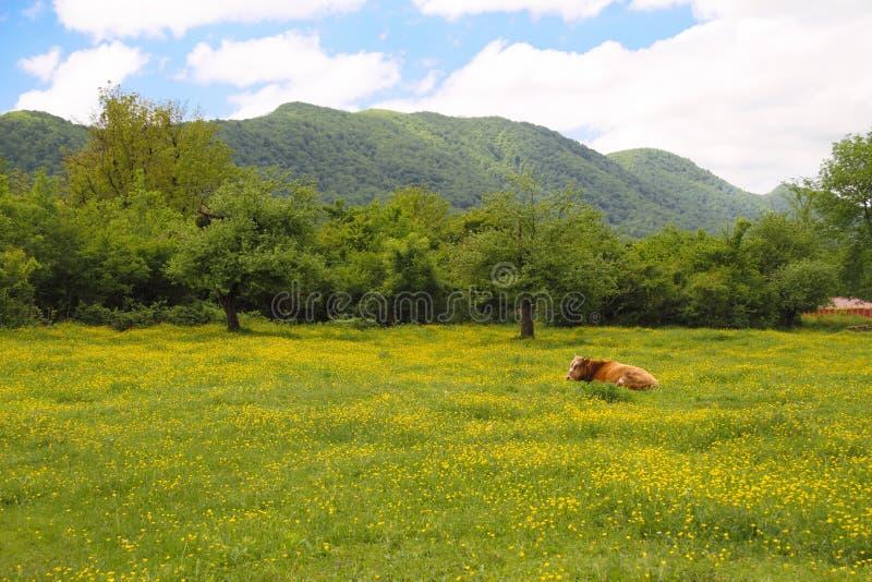 szwajcar krowy pola wiosna szwajcar zdjęcia royalty free