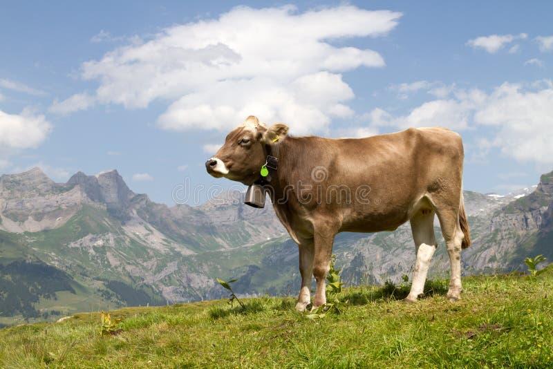 Szwajcarska krowa zdjęcie royalty free