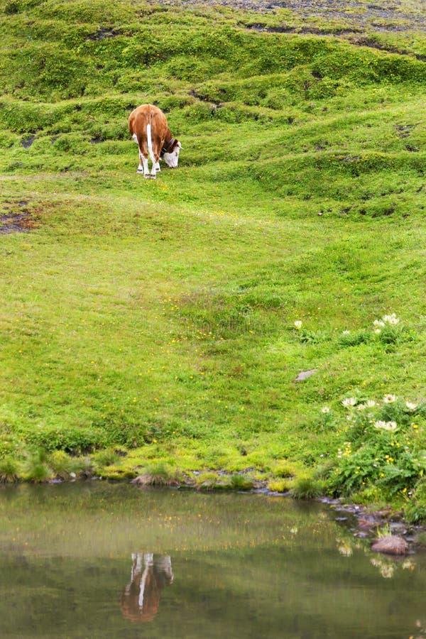 Szwajcarska krowa Odbija na życiu i stawie blisko Mannlichen w Szwajcaria, zdjęcia royalty free