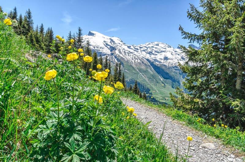 szwajcarskie alpy Halni żółci tulipany przeciw tłu zdjęcia stock