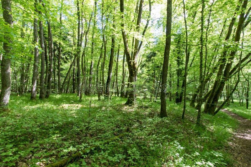 Szwajcarskiego lasu krajobrazowy wywołuje spokój i spokój obrazy stock