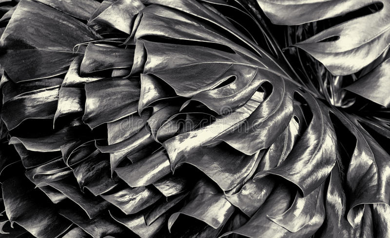 Szwajcarskiego sera roślina w Czarny I Biały fotografia royalty free