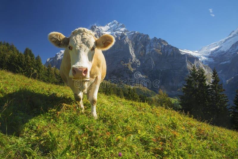 szwajcarzy krowa fotografia royalty free