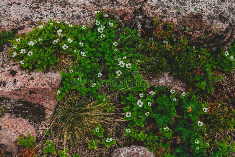 Szwedzcy Deren biali kwiaty porcelana dawać miły lotuses północny wschód zasadza primorski rzadkiego Russia terytorium Spisujący  fotografia royalty free