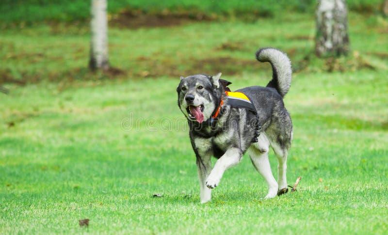 Szwedzi Elkhound zdjęcie stock