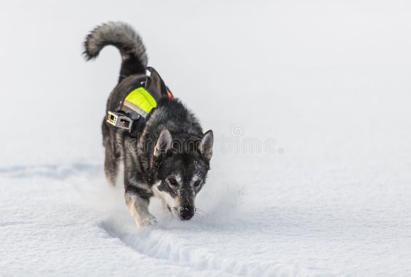 Szwedzi Elkhound fotografia royalty free