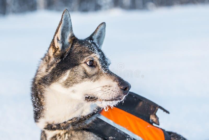 Szwedzi Elkhound obraz stock