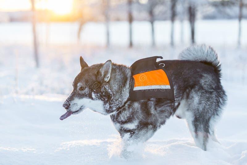 Szwedzi Elkhound zdjęcia royalty free