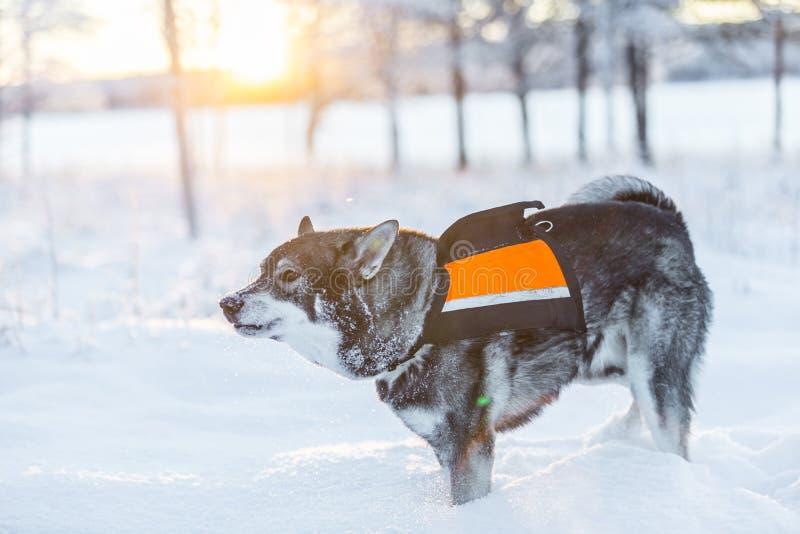Szwedzi Elkhound zdjęcia stock