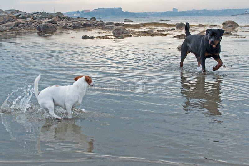 Szwedzi gospodarstwa rolnego pies i Rottweiler w wodzie zdjęcie royalty free