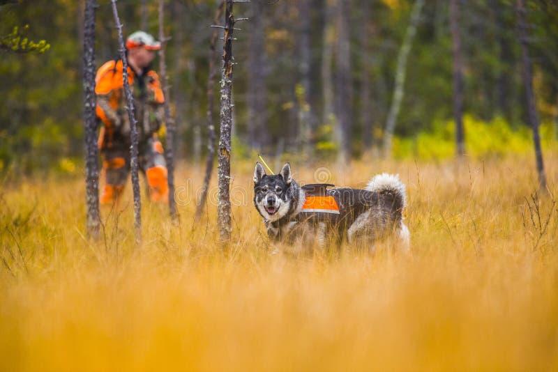 Szwedzi Moosehound w spadku obraz royalty free