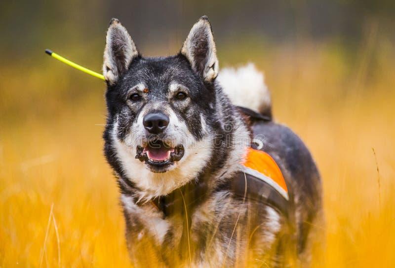 Szwedzi Moosehound w spadku zdjęcia royalty free