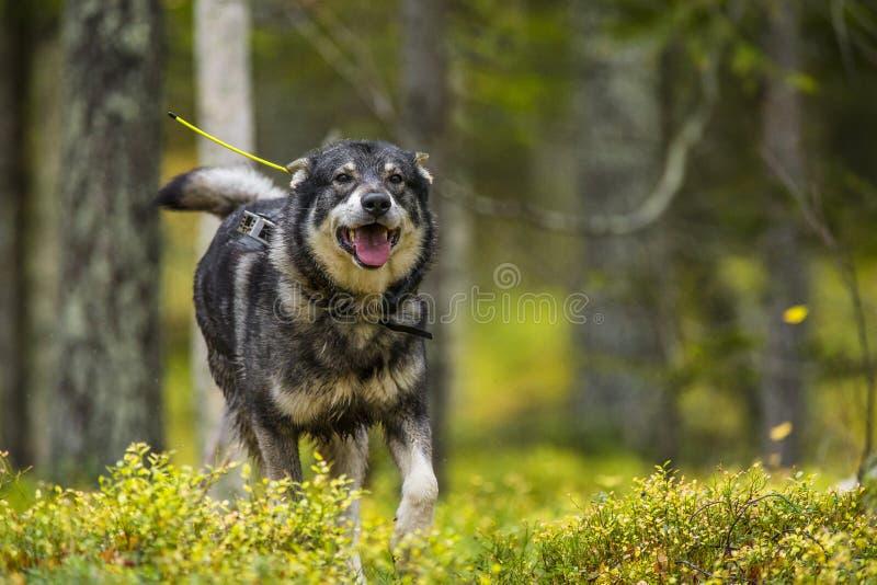 Szwedzi Moosehound w spadku zdjęcie royalty free