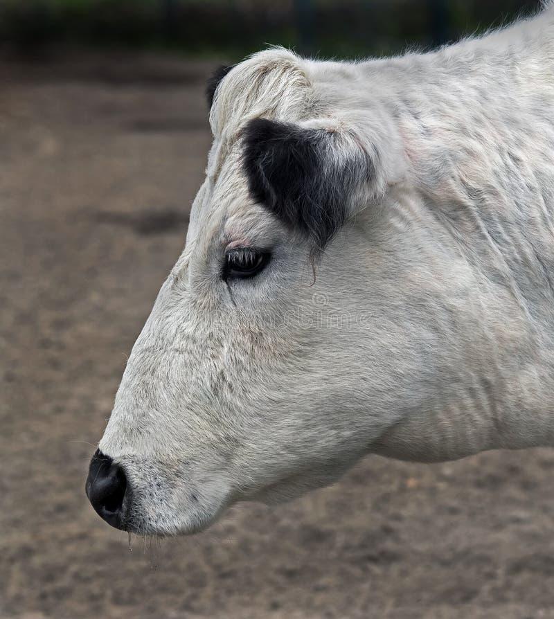 Szwedzka bezroga krowa zdjęcie stock