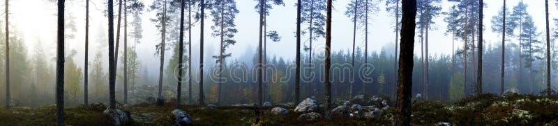 Szwedzki sosnowy las w mgle fotografia stock