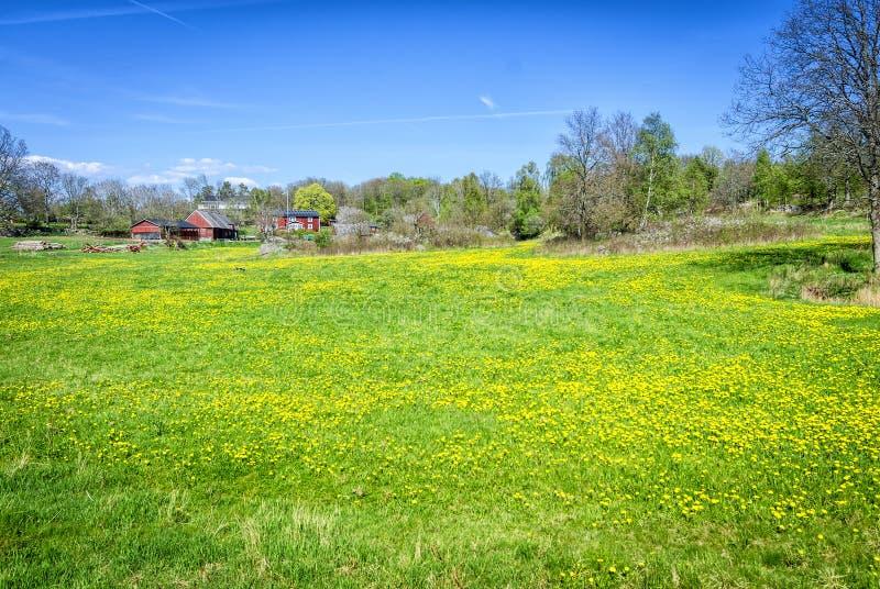 Szwedzki wiosny pole z dandelions zdjęcie royalty free