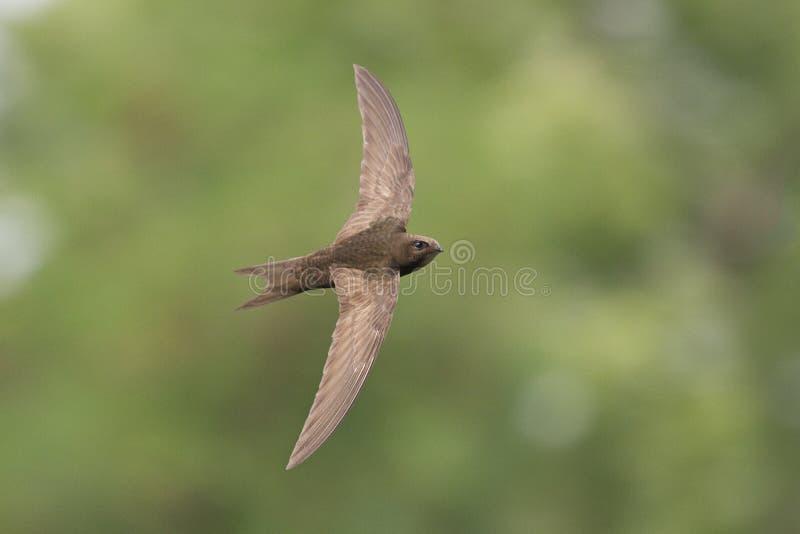 Szybki ptak w świacie fotografia stock