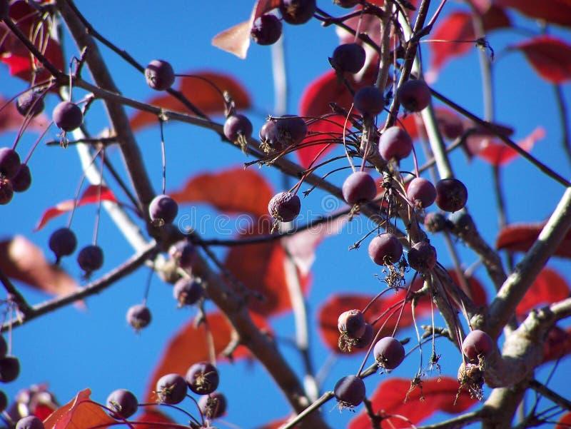 Szyk crabapple jagody i liście - tło zdjęcia stock