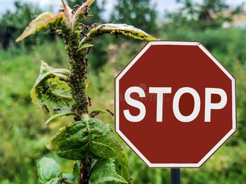 Szyldowe przerw mrówki hodują korówki na jabłoni zdjęcia royalty free