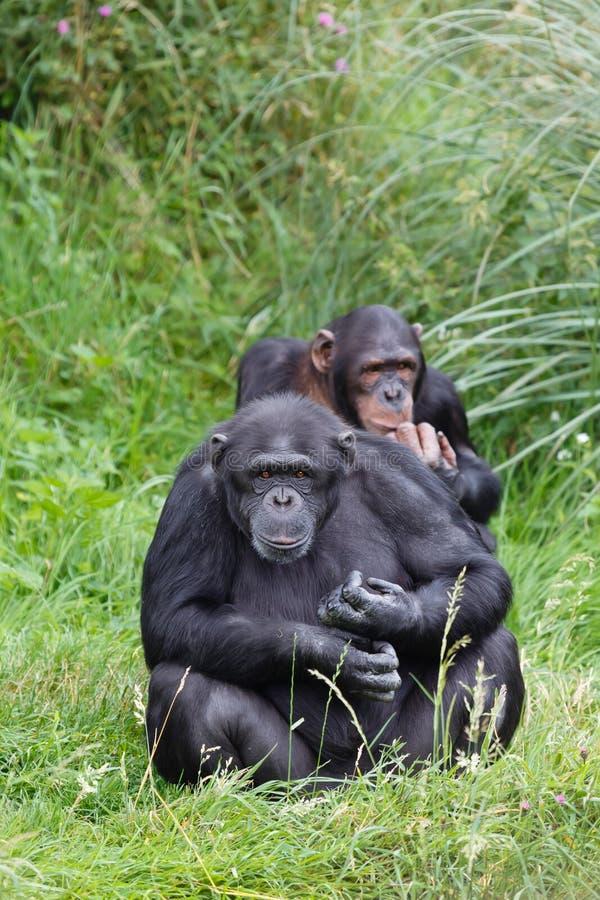 Szympansów szympansy zdjęcia royalty free