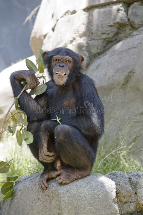 szympans 15 obrazy stock