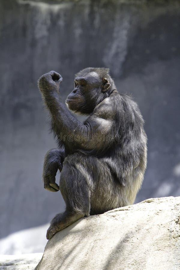 szympans 8 obrazy stock