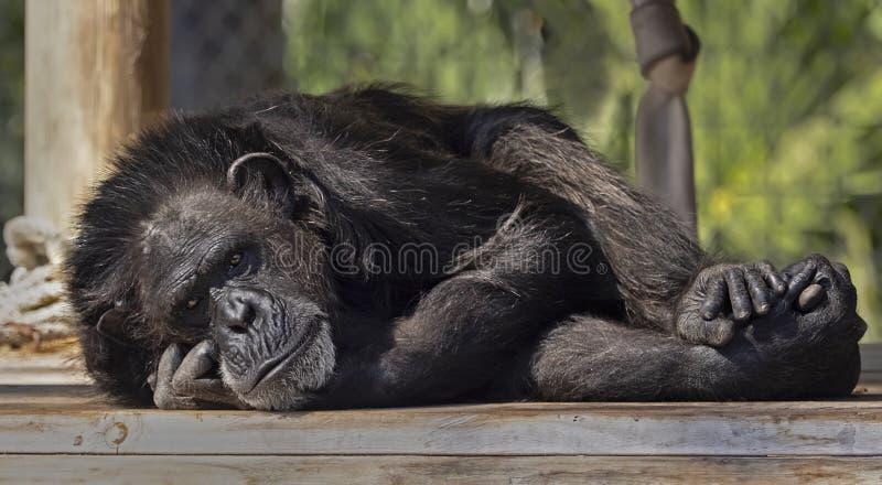 Szympans Głęboko w myśli przy zoo Tampa przy Lowry parkiem zdjęcie royalty free