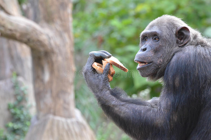 Szympans je chleb 3 obraz royalty free