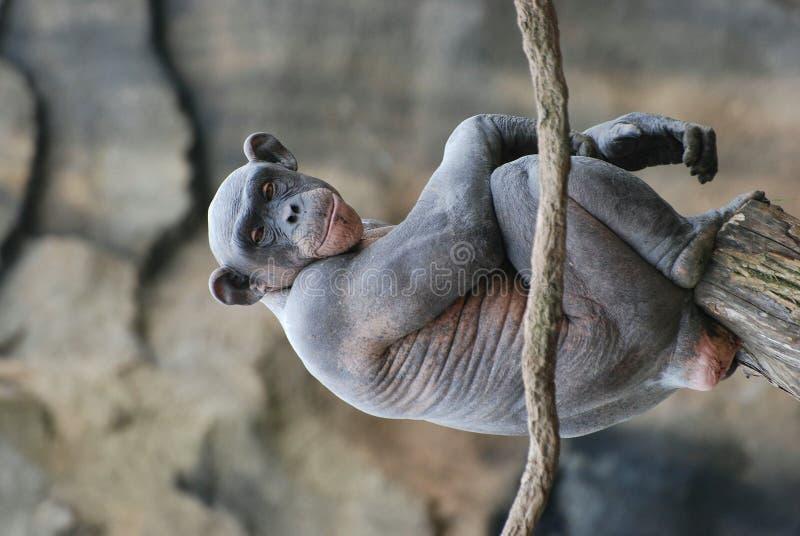 szympans nagi zdjęcia stock