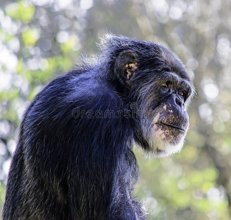 szympans smutny fotografia royalty free