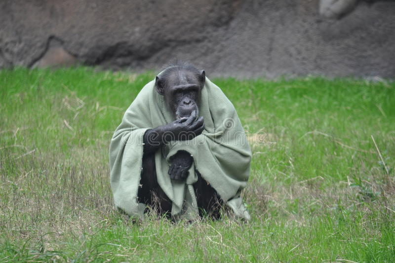 Szympans w koc zdjęcie royalty free