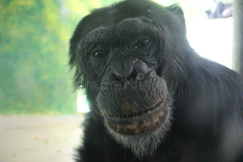 Szympans w zoo Liberec fotografia stock