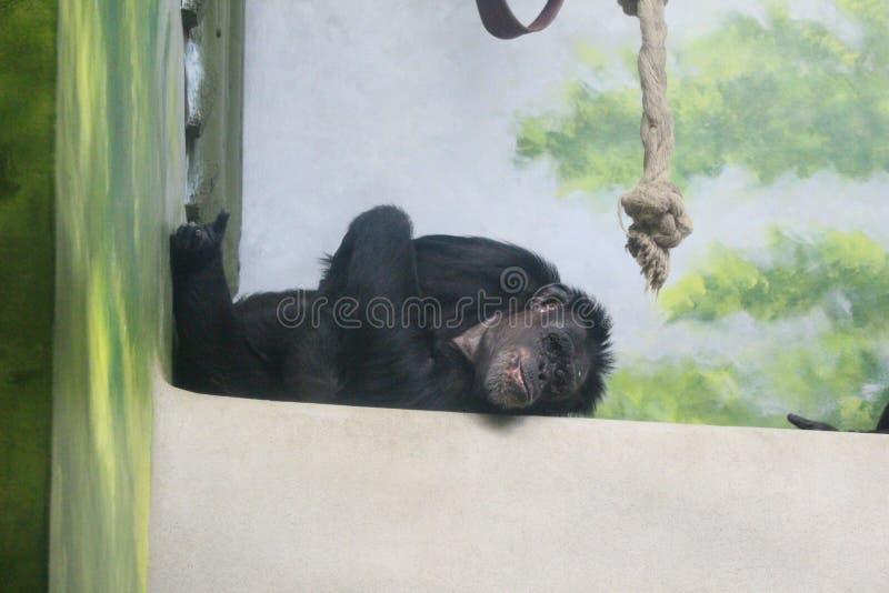 Szympans w zoo Liberec zdjęcie royalty free