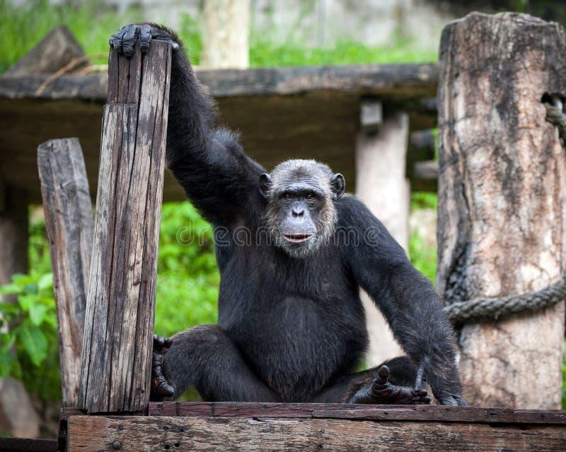 Szympans zabawa jest przyglądająca obrazy stock