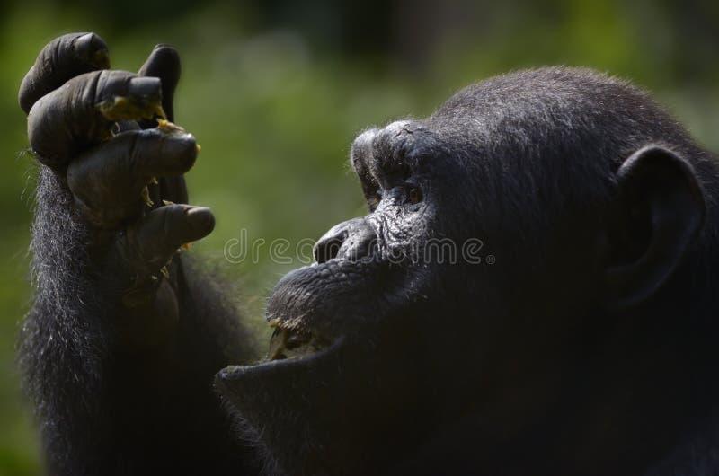 Szympansa łasowania owoc zdjęcia stock