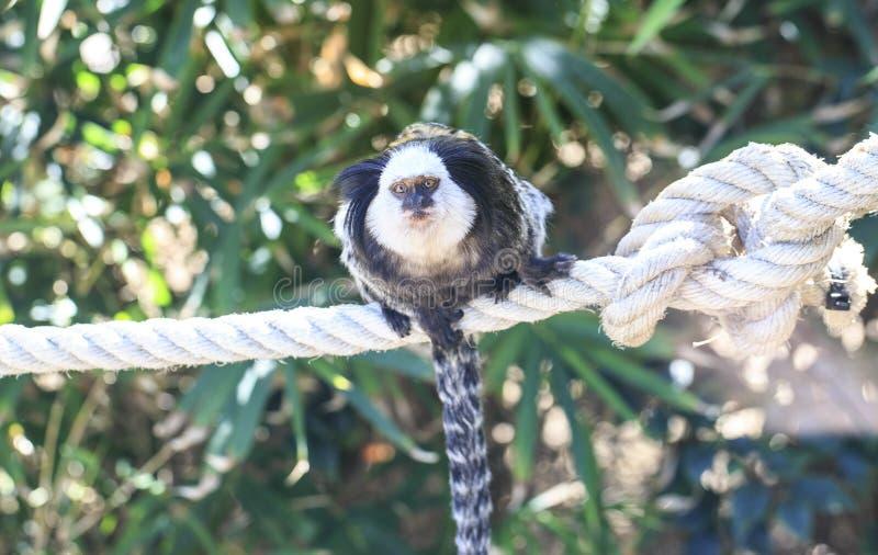 Download Szympansa Dosypianie W Drzewie Zdjęcie Stock - Obraz złożonej z bela, szympans: 106917854