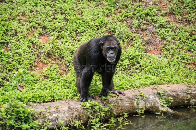 Szympansa mokey siedzi na fiszorka drzewie z trawą obraz stock