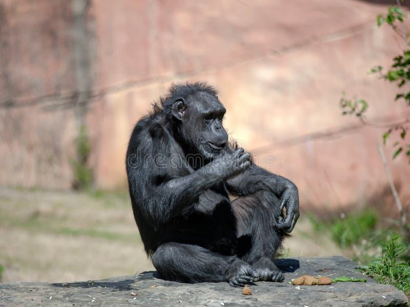 Szympansa obsiadanie fotografia royalty free