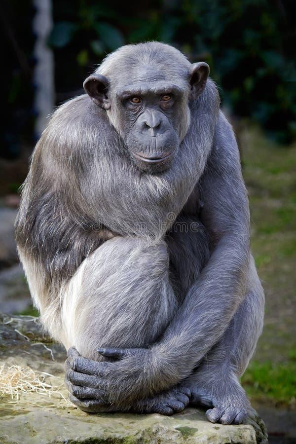 szympansa zbliżenia niecki troglodyta fotografia royalty free