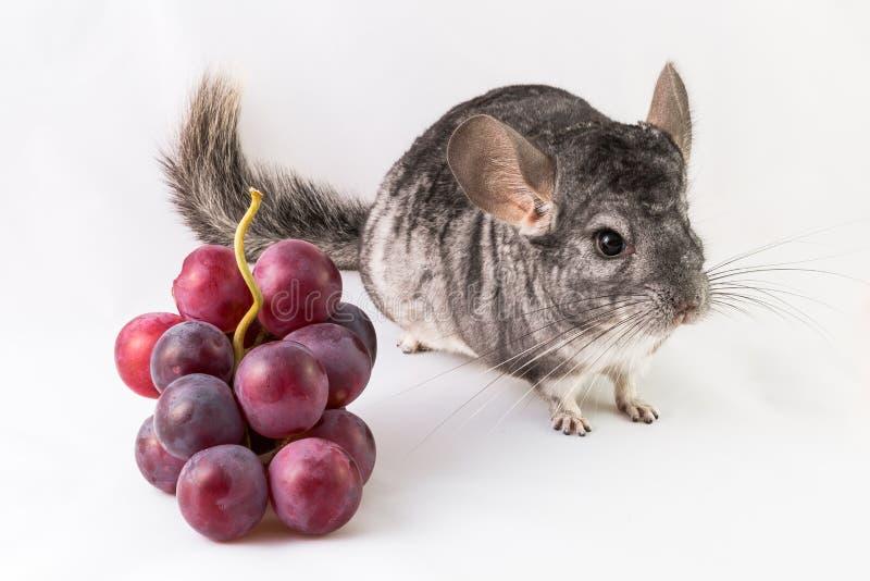 Szynszyla i winogrona zdjęcie stock