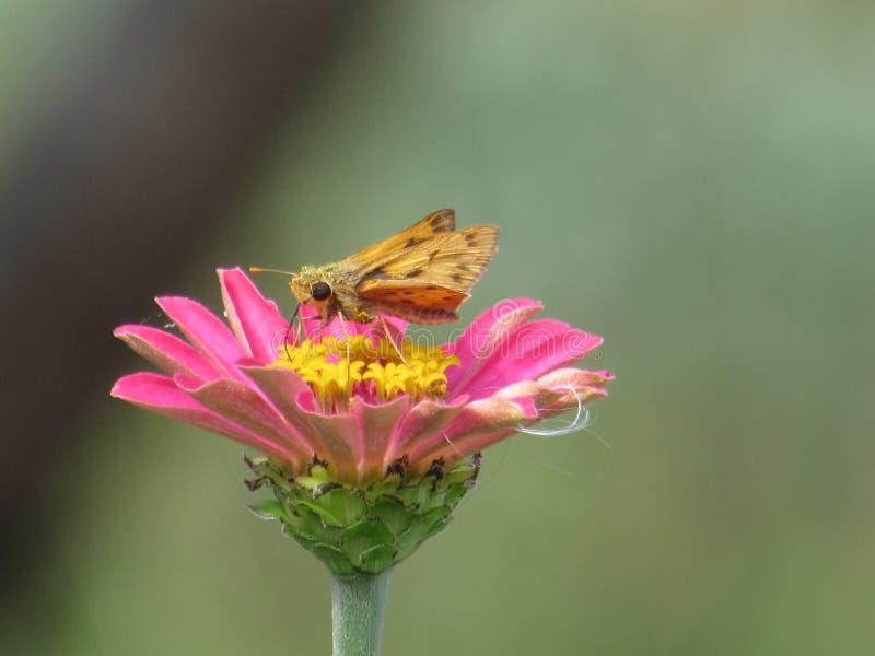 Szypera zgromadzenia Motyli nektar od Różowych cyni fotografia royalty free